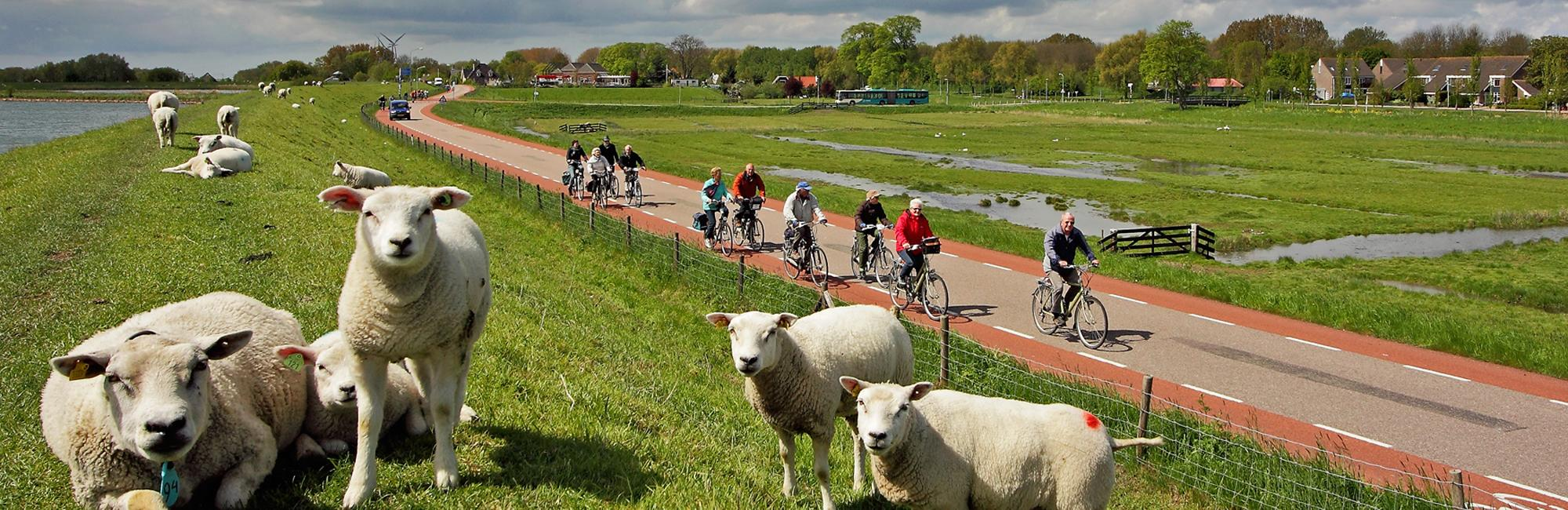 Sheeps and cyclists in Holland