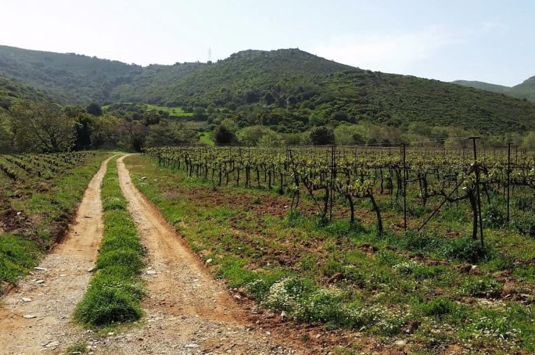 Vinyards in Evia Island