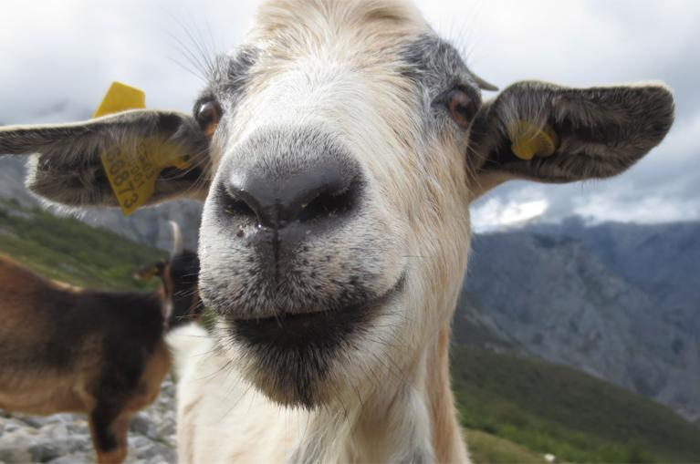 Domestic goat in Picos de Europa