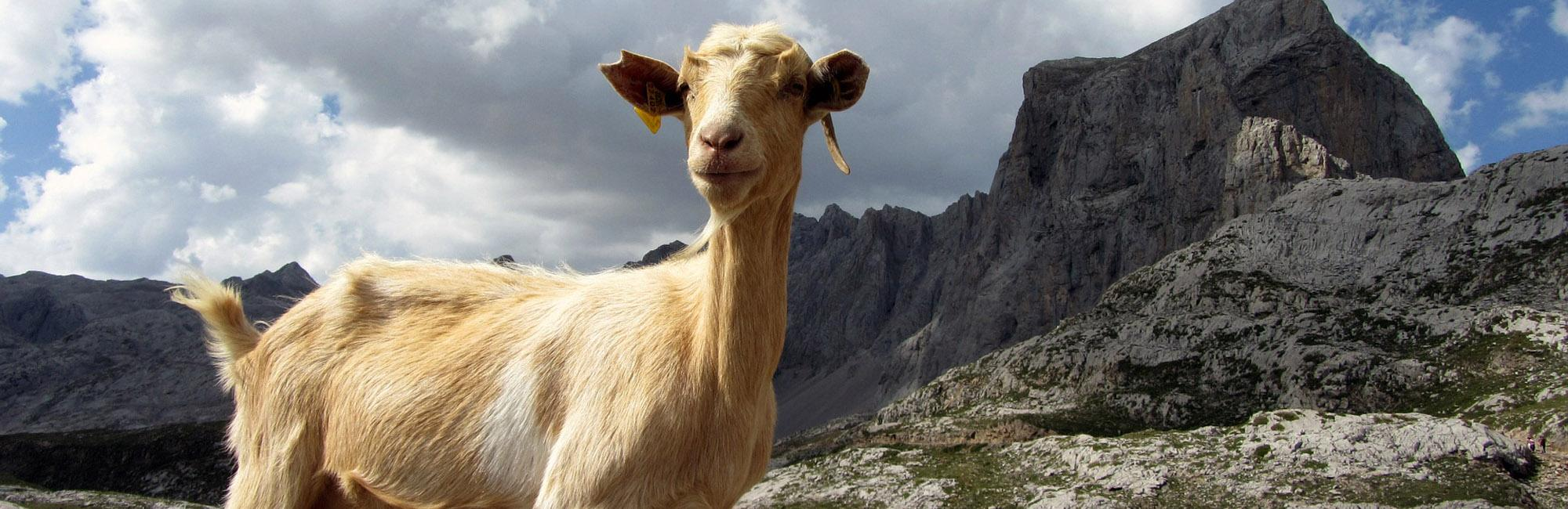 Goat in Picos de Europa National Park