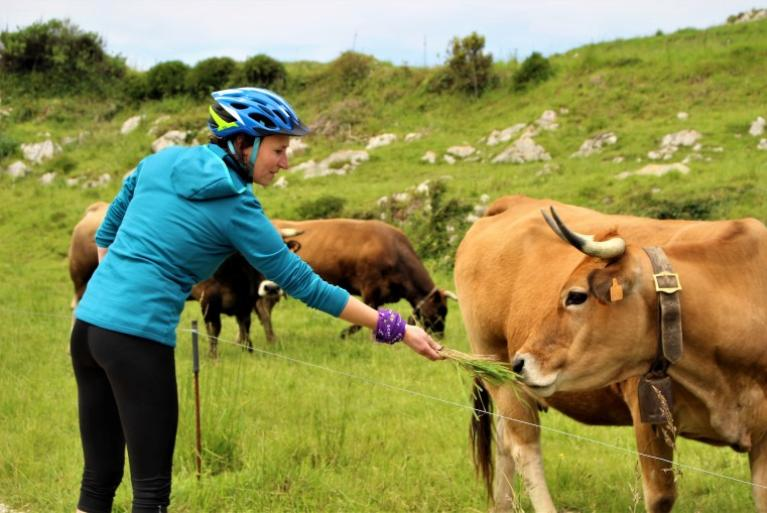 Cyclist in Asturias feeding a cow