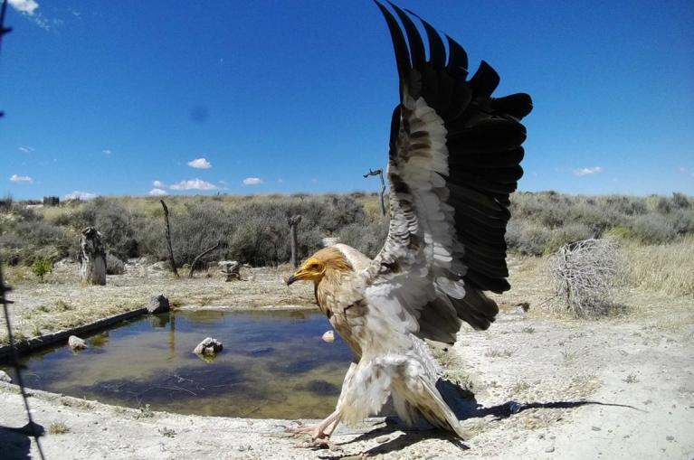 Egyptian vulture in Sierra de Guara