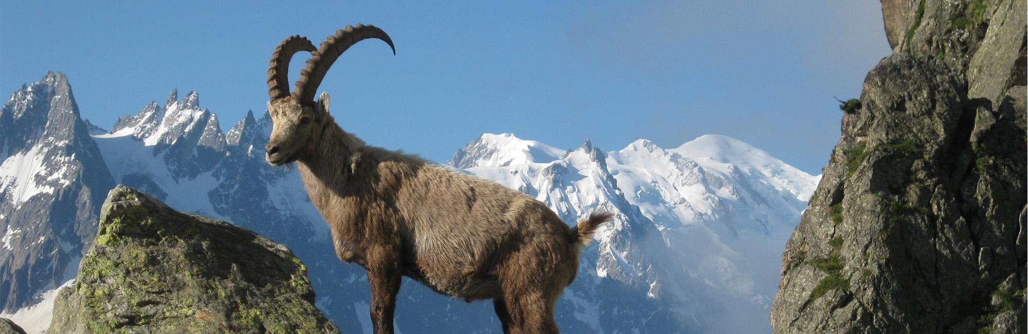 Ibex in Mont Blanc